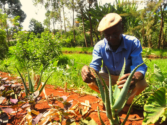 A farmer shows off his aloe plants, popular among farming families in central Kenya for their medicinal value. Credit: Miriam Gathigah/IPS