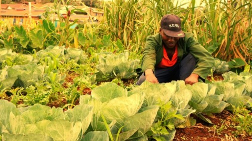 David Njeru, a farmer from central Kenya, attends to his cabbages. This community is at risk of being displaced from their land by powerful real estate developers. Credit: Miriam Gathigah/IPS